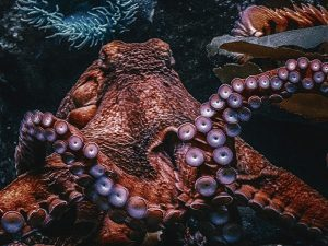Large Octopus