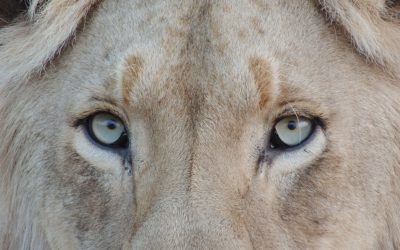 Shame on South Africa's Captive Lion Industry!! (Part One)