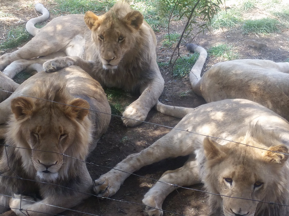 captive bred farm lions South Africa