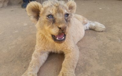 Shame on South Africa's Captive Lion Industry!! (Part Two)