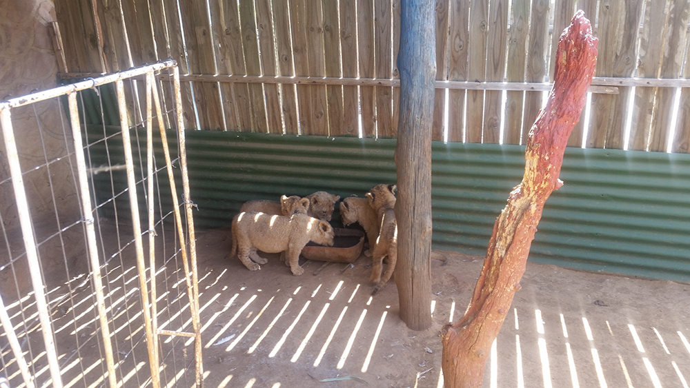 Canned Hunting Lions South Africa