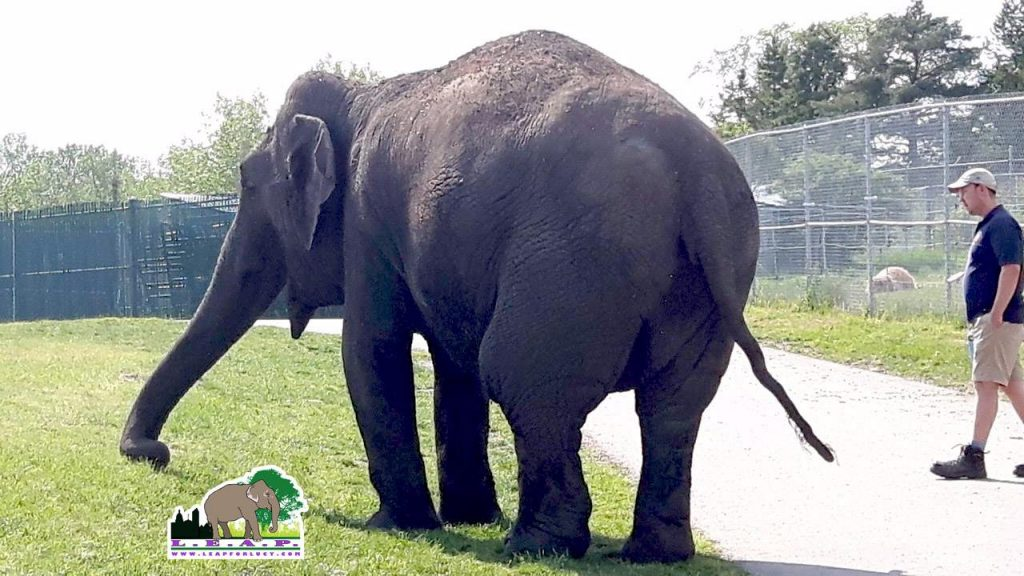 Asian Elephant Zoo Captivity