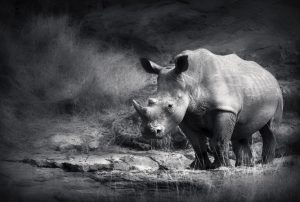 Rhinos Extinction Endangered