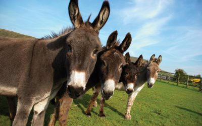 The Outrageous Chinese Demand For Donkey Skins