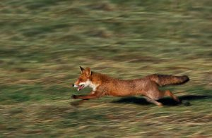 Running Fox Chased by Hunt